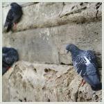 Taubenvergrämung Bild1