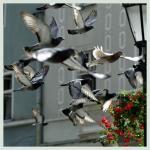 Taubenvergrämung Bild3